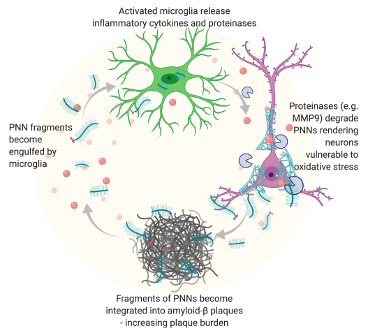 PNN Microglia and amyloid (1) (1)